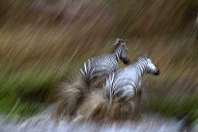 Slow-pan Zebras.