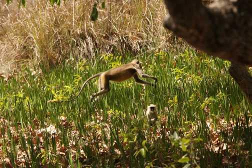 Langur Monkey leaping