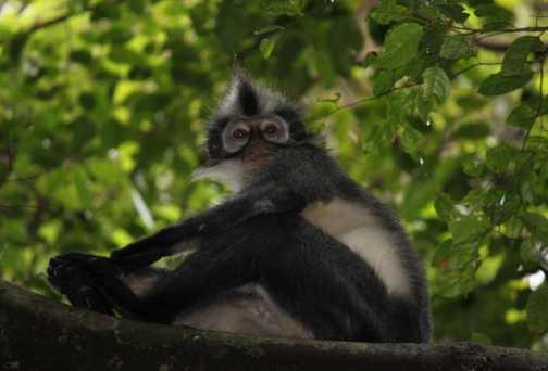 punky (Thomas leaf) monkey