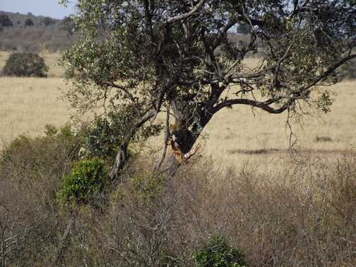 lepoard with reedbuck in masia mara