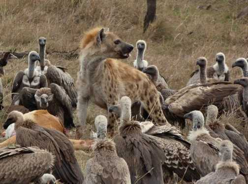 Hyaena surrounded