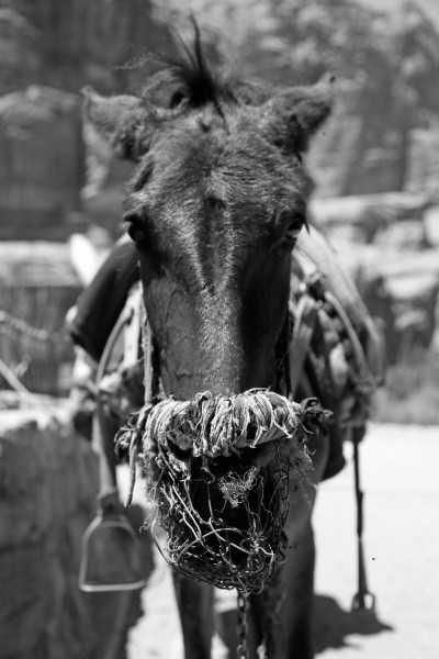 Donkey portrait, Petra