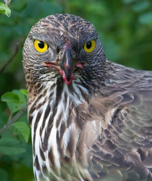 hawk Eagle having lunch