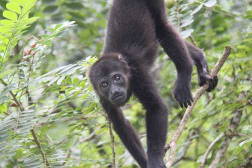 howler monkey in Tortuguero NP