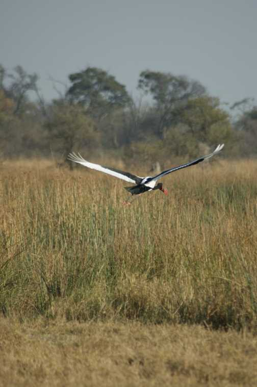 saddle billed stork in flight