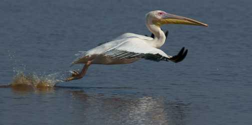 Preparing for take-off!! Great white pelican, Lake Nakuru