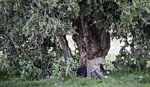 Lion in bush in Mara