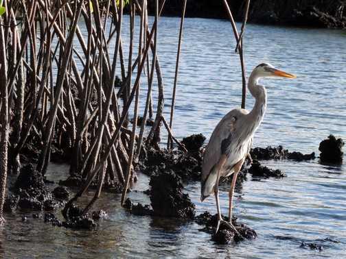 Great Blue Heron next to mangroves in Elizabeth Bay