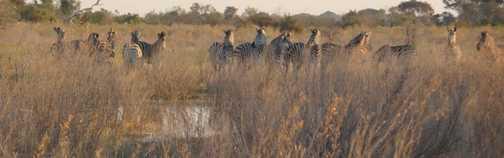 zebra in the Delta