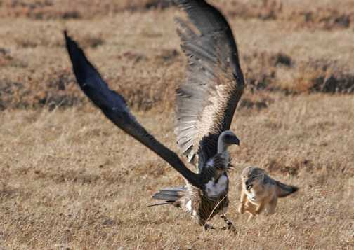 Jackal chases of Vulture