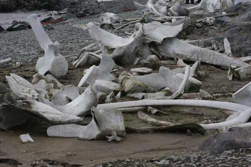 whale bones - mikkelson harbour