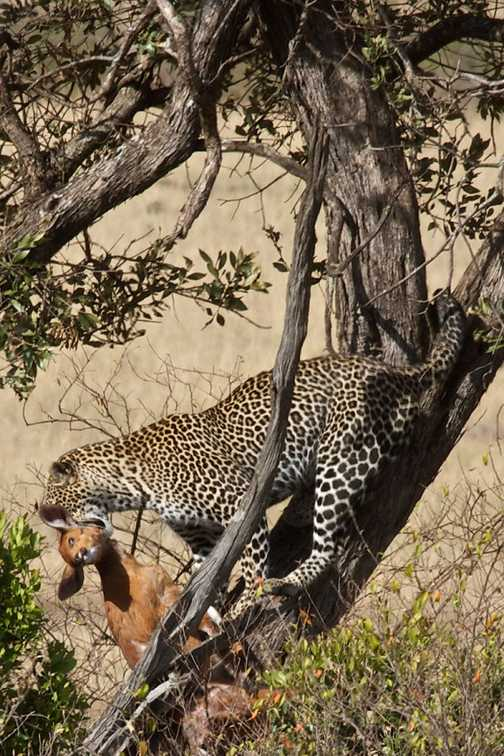 Leopard about to jump