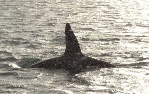 Orca sighting is a snowstorm