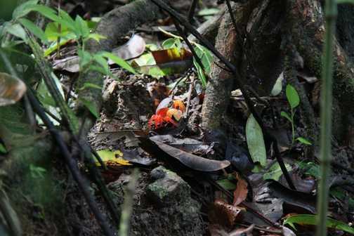 Hallowe'en crab, Manuel Antonio NP