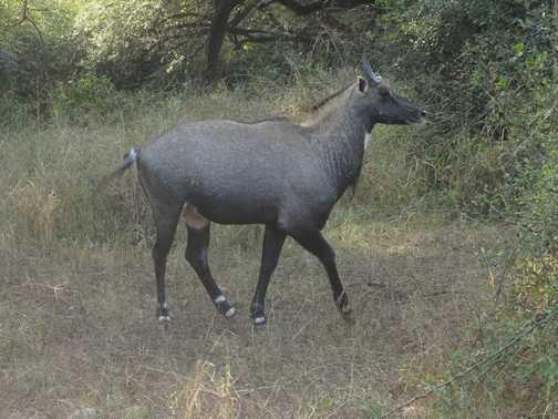 antelope, Sariska N.P.