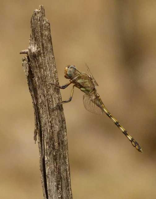 Mara dragonfly