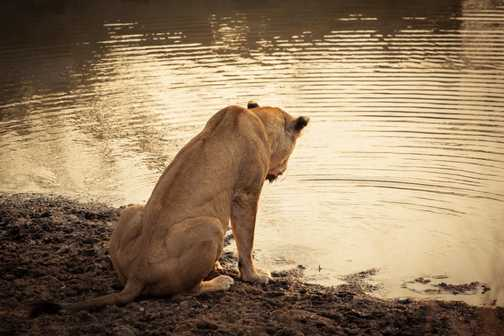 Lioness at Edeni. Sunset at the waterhole