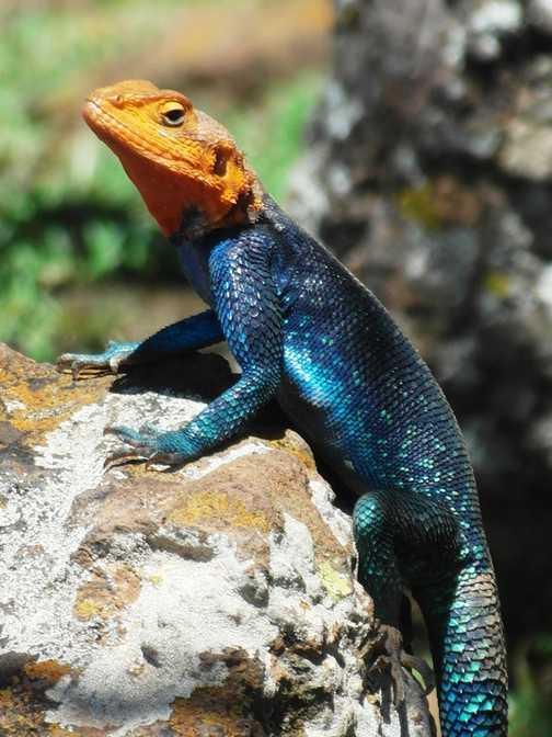 Lake Nakuru ... colourful lizard