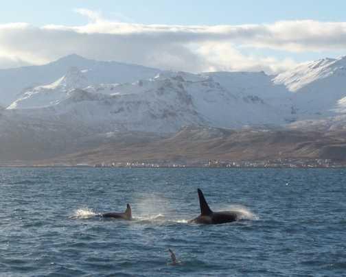 Orcas at Grundarfjorour