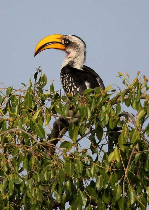 Eastern Yellow-billed Hornbill - Awash NP