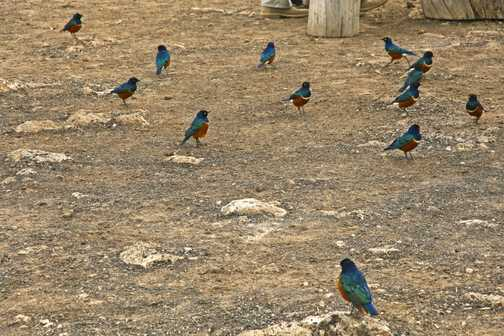 Colourful Superb starlings