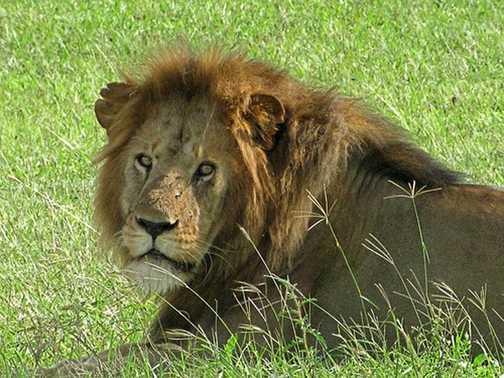 Serengetti Lion King