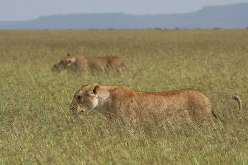 Moving slowly through the long grass