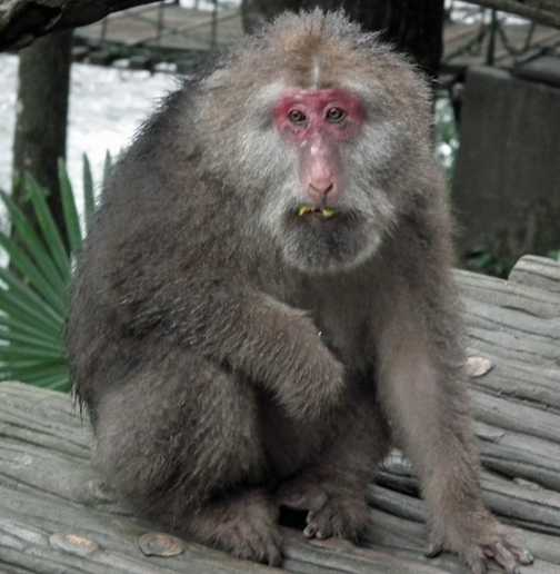 old monkey Mt Emei