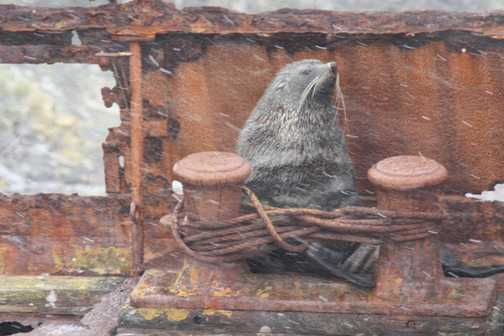 Male Fur Seal at Prince Olav