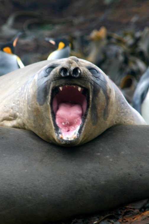 MacQuarie Isle : Elephant Seal