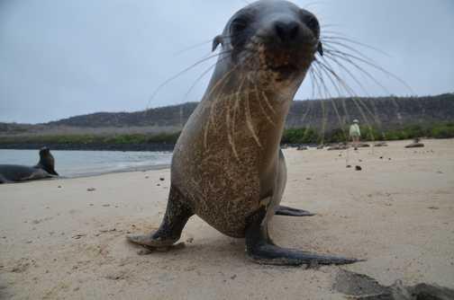A very inquisitive sea lion pup