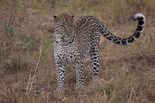 A leopard comes into the daylight