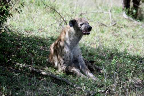 Young hyena - Masai Mara