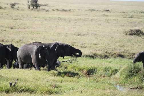 tembos at watering hole - Serengeti