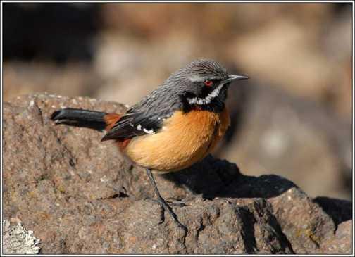 Drakensberg Orange-Breasted Rock Jumper