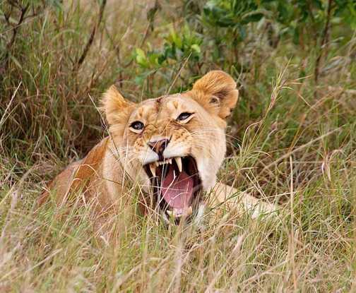 Yawning!