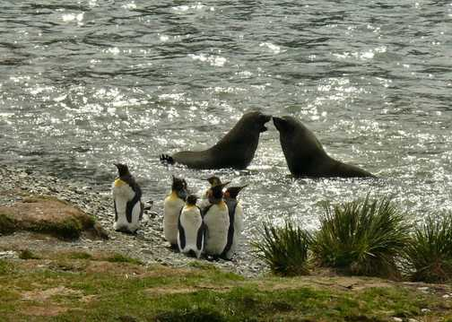 Fur seals and kings at Grytviken