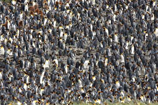 King Penguin Chick, so proud!