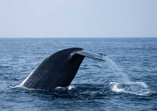 Blue whale 1