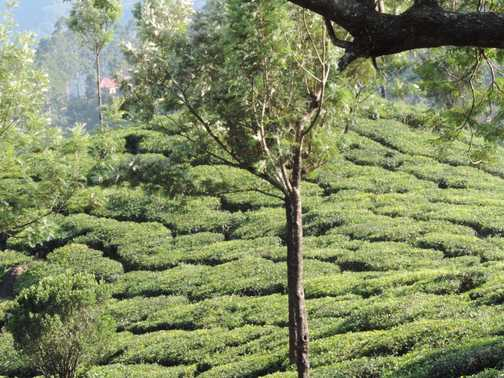 Tata Tea Plantation