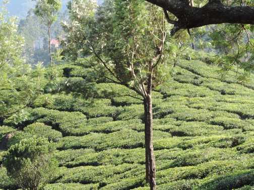 Tata Tea Plantation