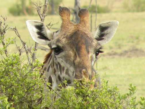 Masai  Mara Giraffe