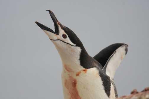 chinstrap penguin - orne harbour