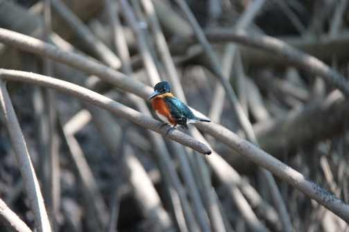 Kingfisher American Pygmy