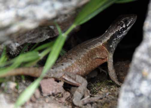 lizard hiding in the rocks