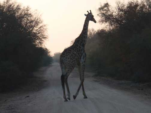 Giraffe crossing - Kruger