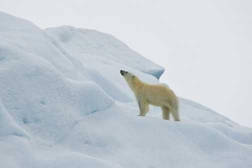 Iceberg Bear