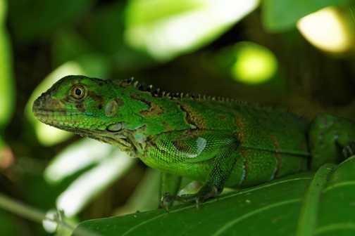 Green Lizard, Tortuguero