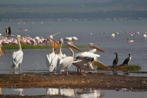 Birdlife, Lake Nakuru