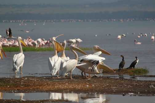 Birdlife, Lake Nakuru